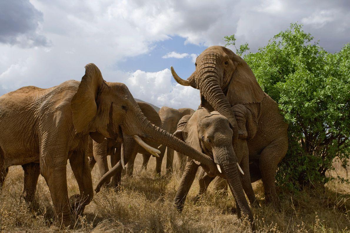 Por vezes, os rituais de acasalamento dos elefantes podem dar origem a desacatos violentos.