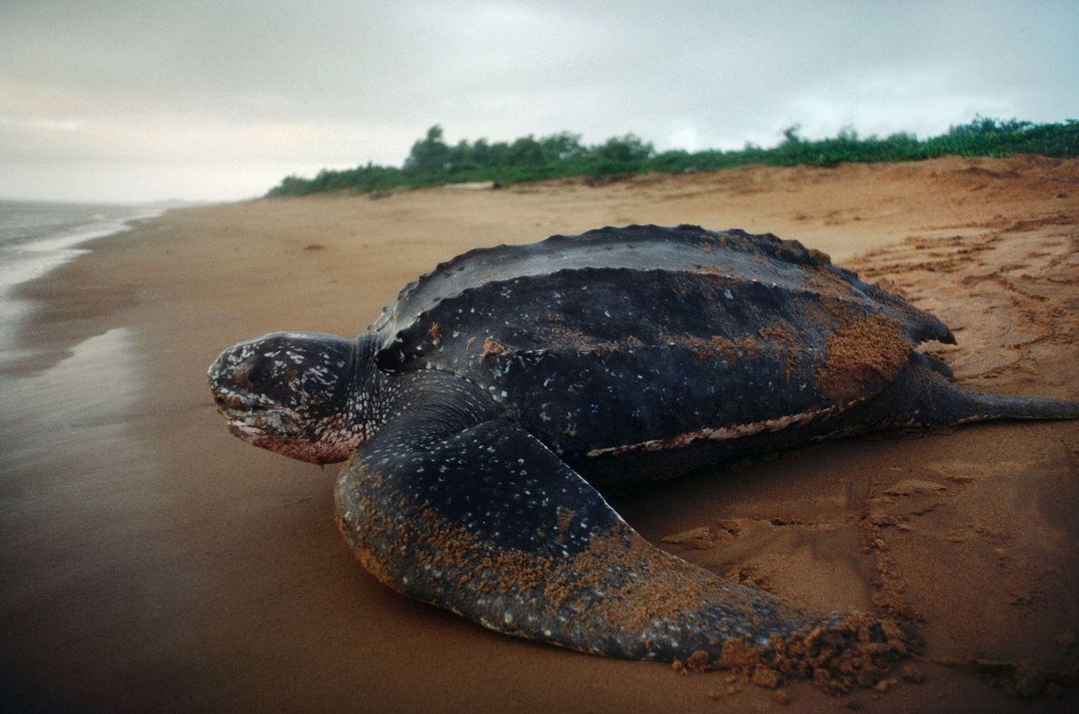 Uma tartaruga-de-couro regressa ao mar.