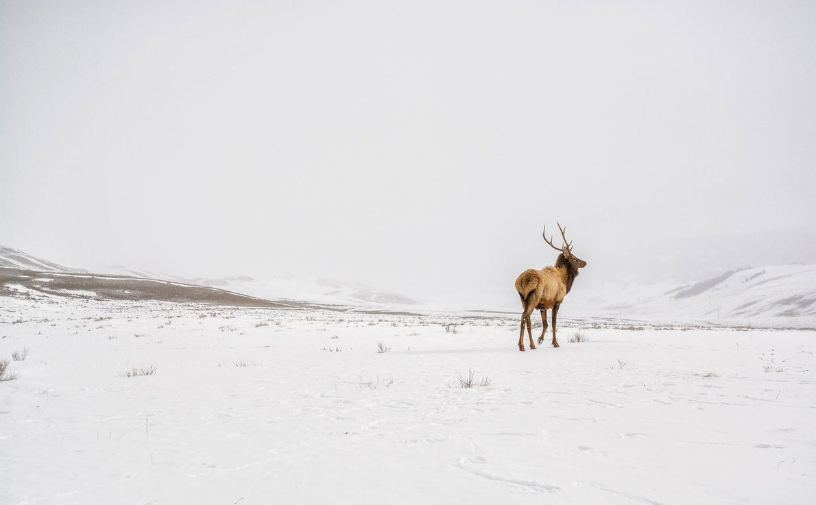 Um veado macho estuda as redondezas, no National Elk Refuge