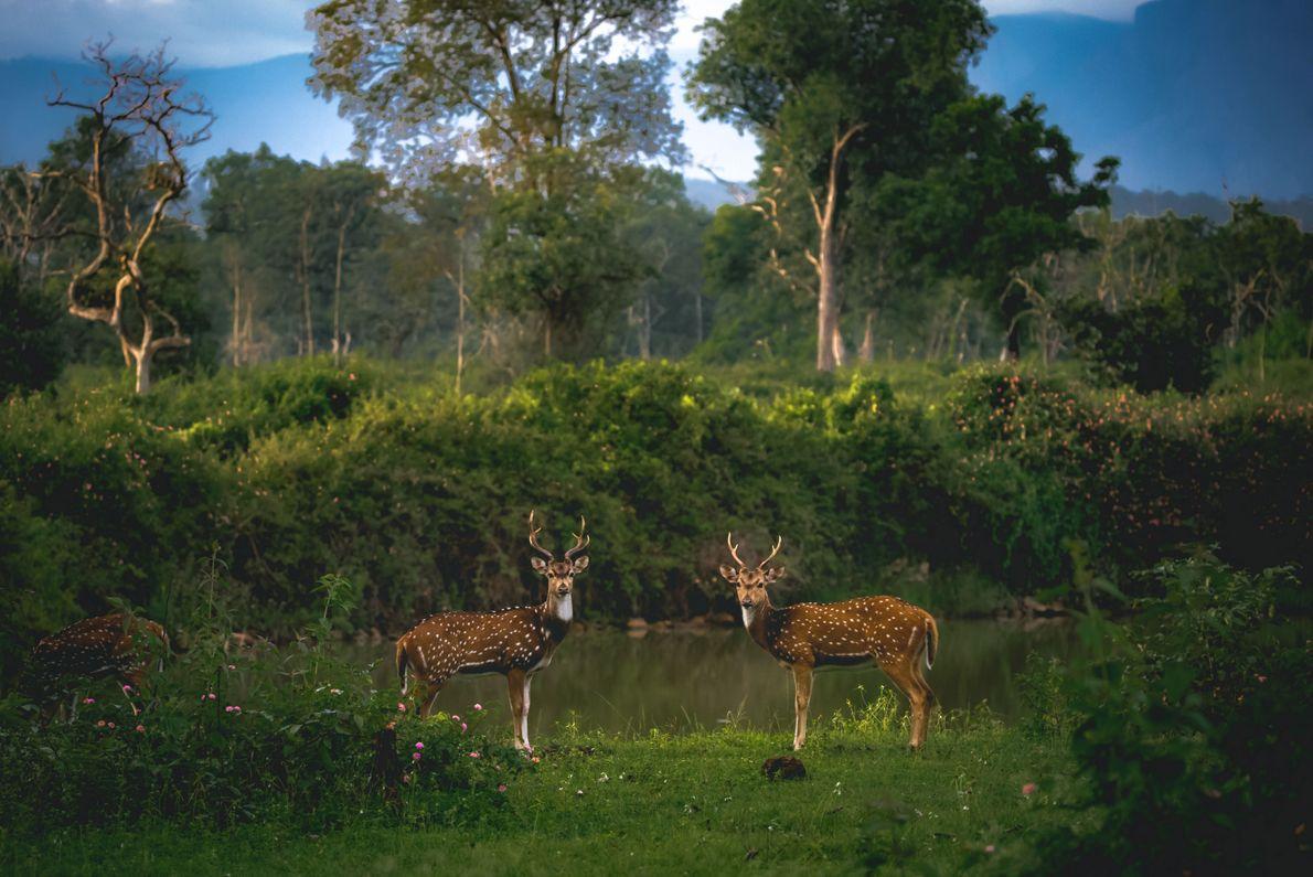 """""""No maravilhoso habitat de Bandipur, vi dois veados a pastar"""", escreve o fotógrafo Your Shot, Alvis ..."""