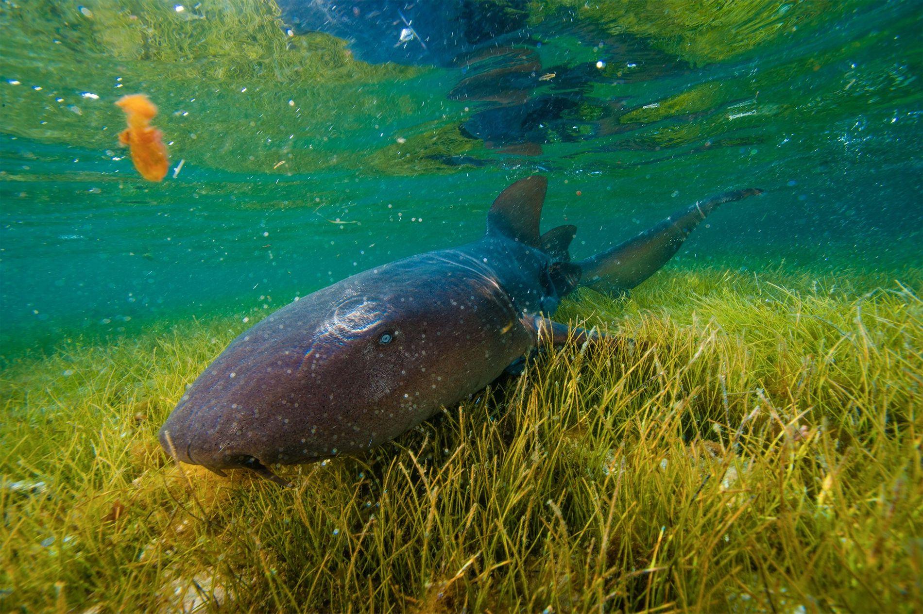Um tubarão-ama explora uma pradaria de ervas marinhas em Half Moon Cay.