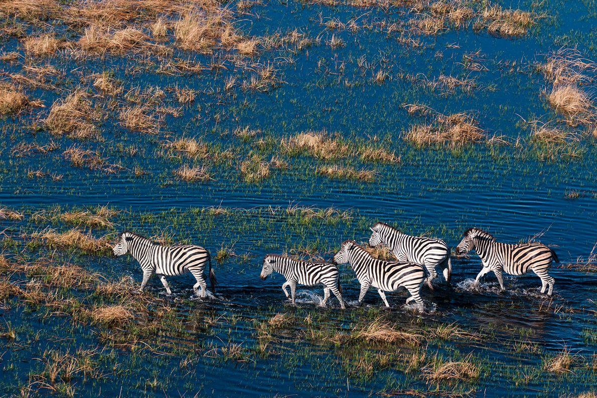 Zebras, Delta do Okavango, no Botsuana.