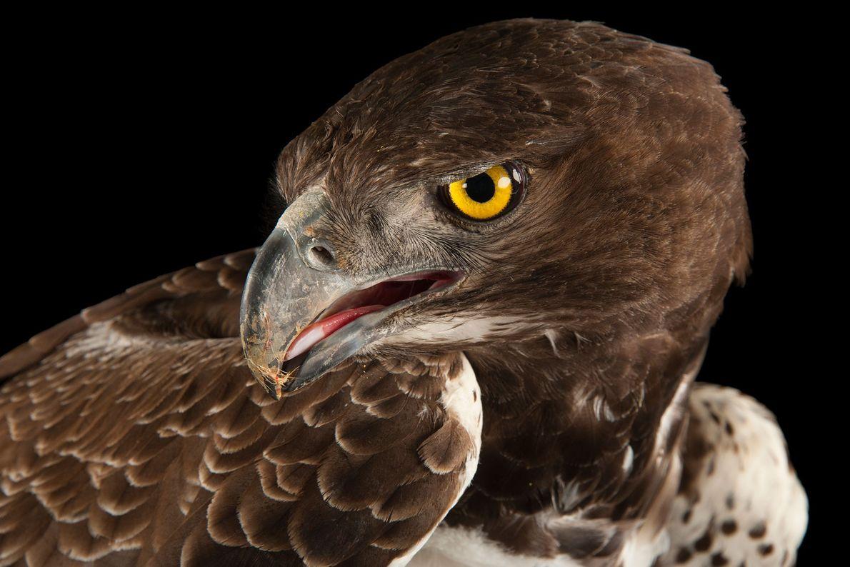 Espécies de águias - Uma águia-belicosa
