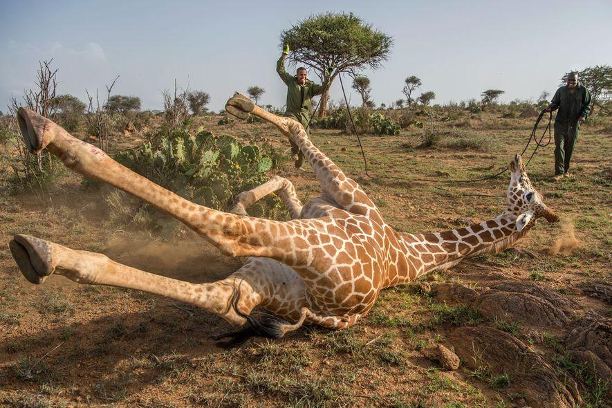 A equipa envolveu as pernas da girafa com uma corda.