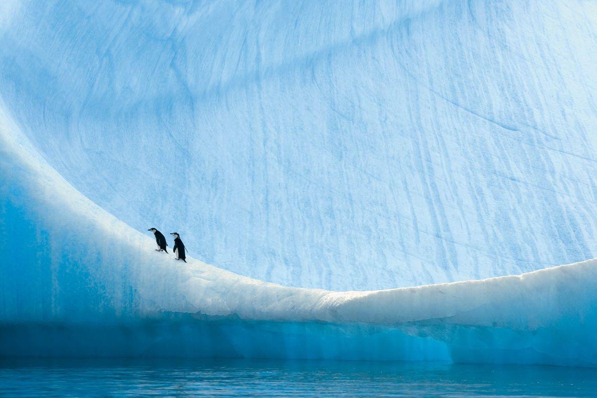 Duas crias de pinguins-de-barbicha