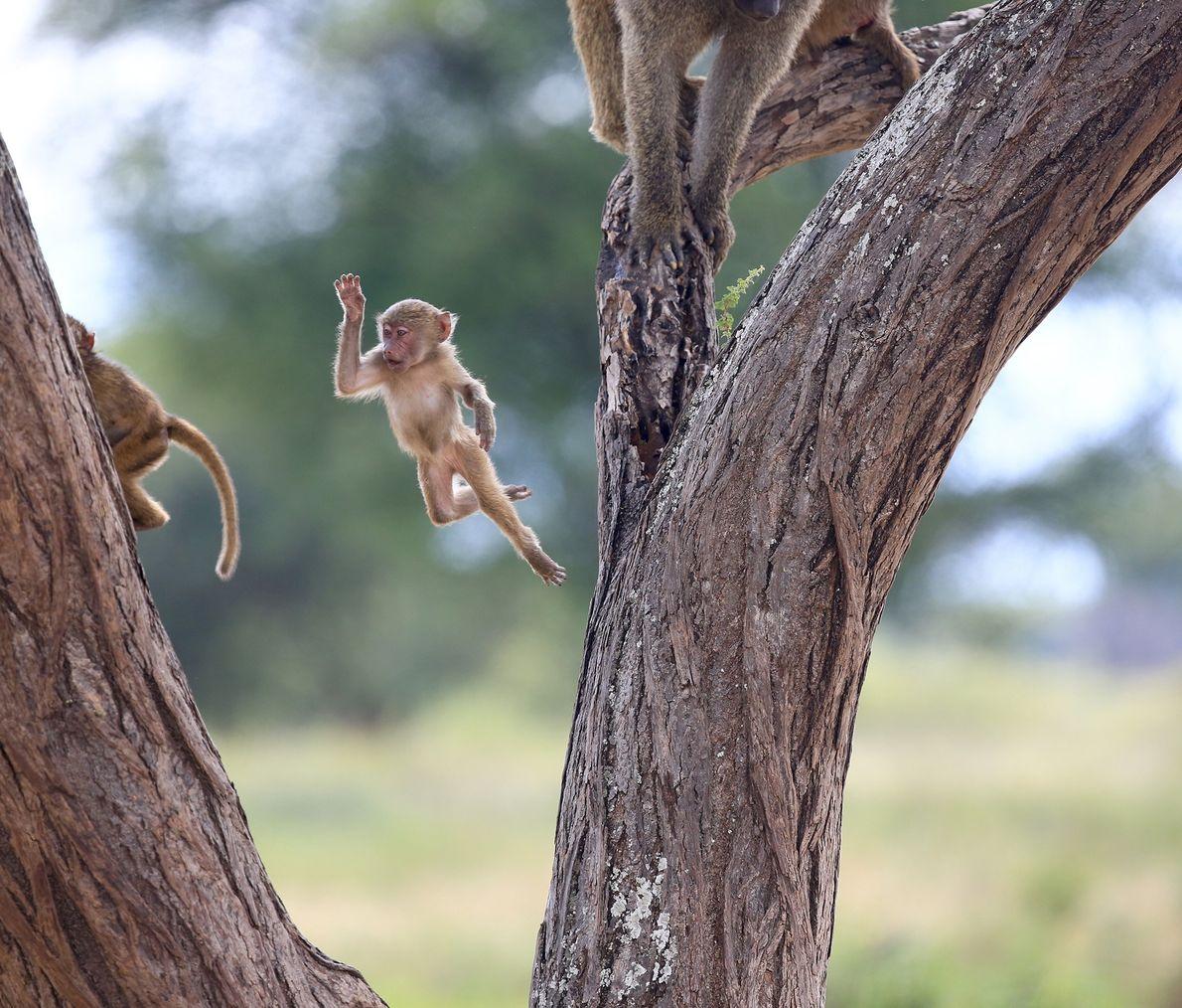 babuíno bebé salta entre árvores no Parque Nacional de Lake Manyara, na Tanzânia