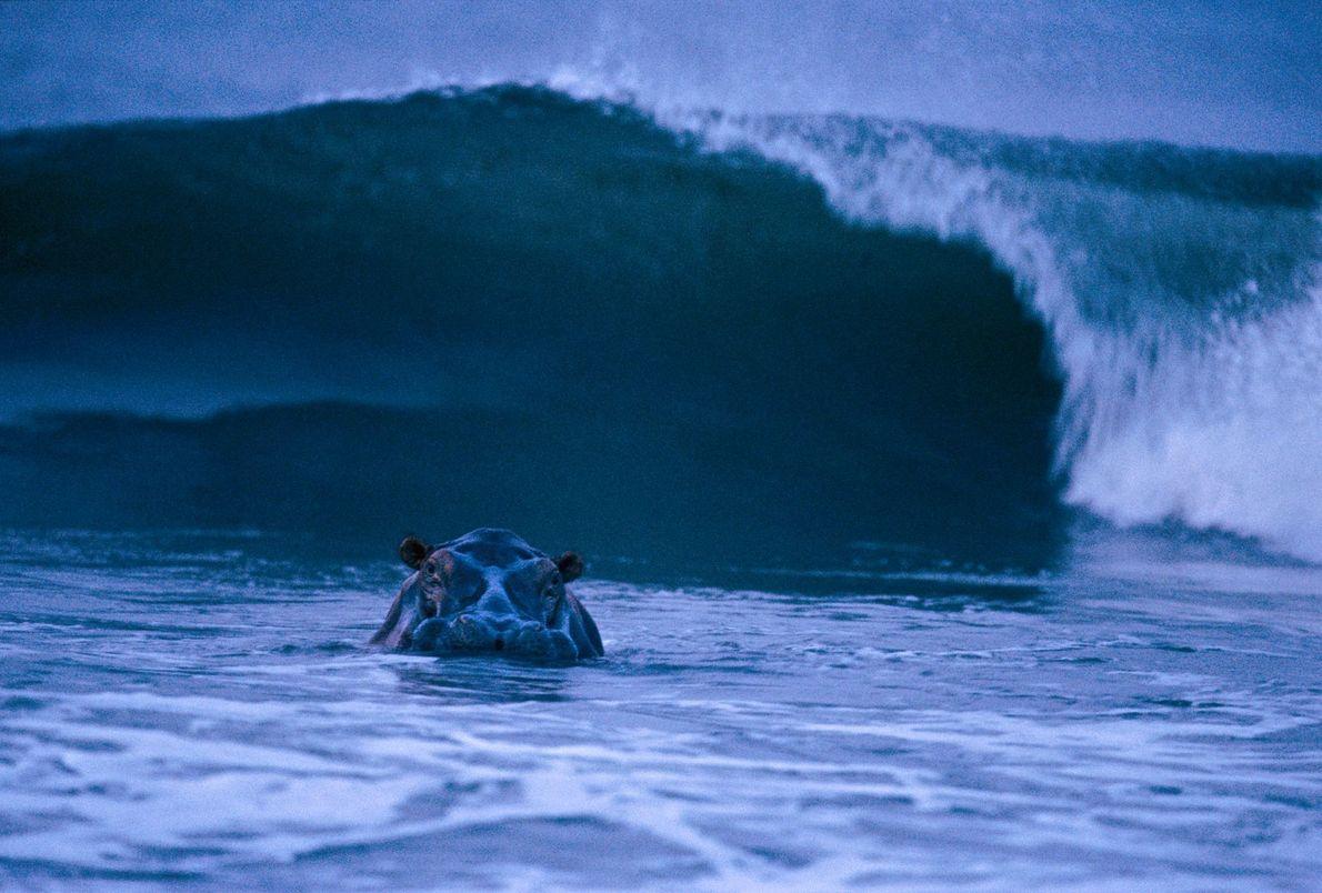 Hipopótamo surfista