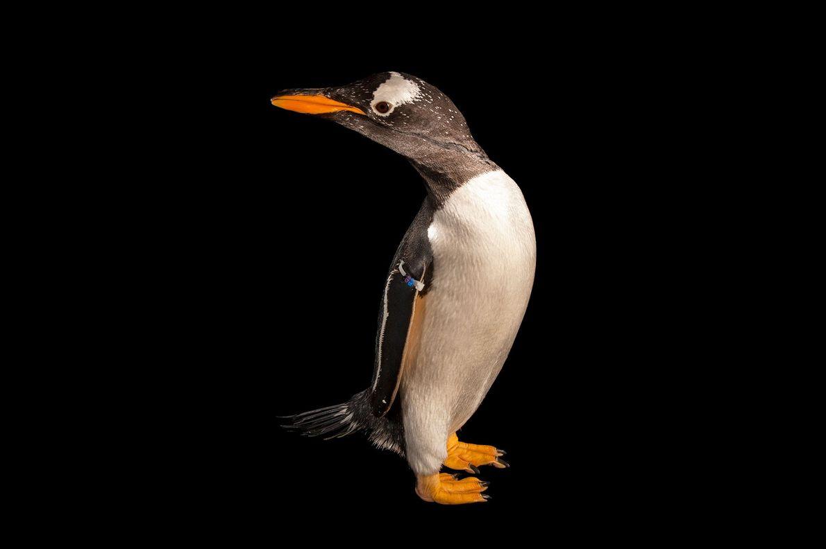 Pinguim-gentoo (Pygoscelis papua)