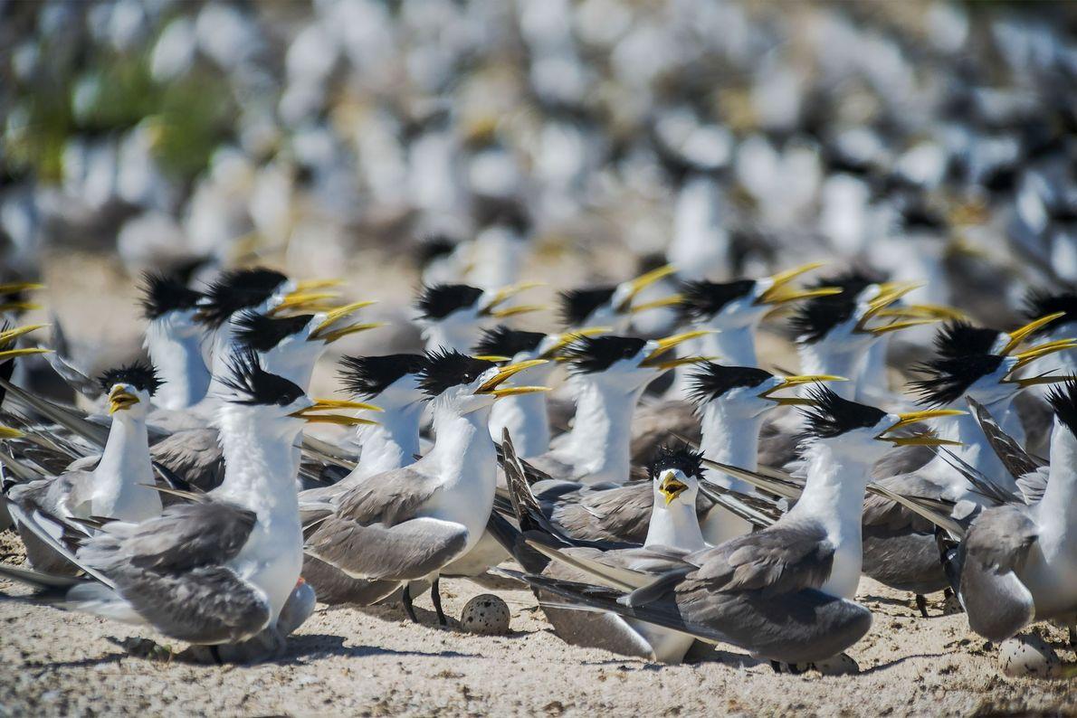 Gaivinas-de-bico-amarelo em Bird Islet
