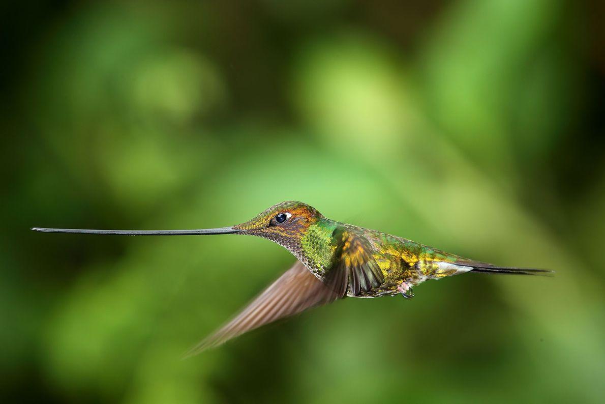 Beija-flor-bico-de-espada. Equador