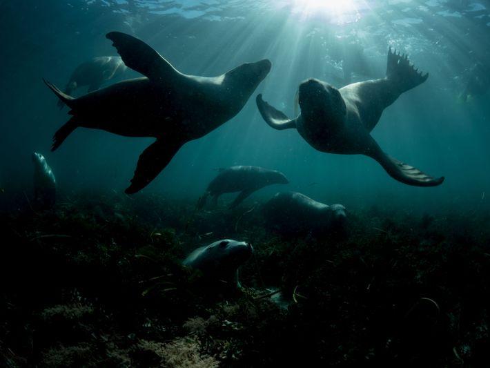 Leões-marinhos australianos, uma espécie ameaçada de extinção.