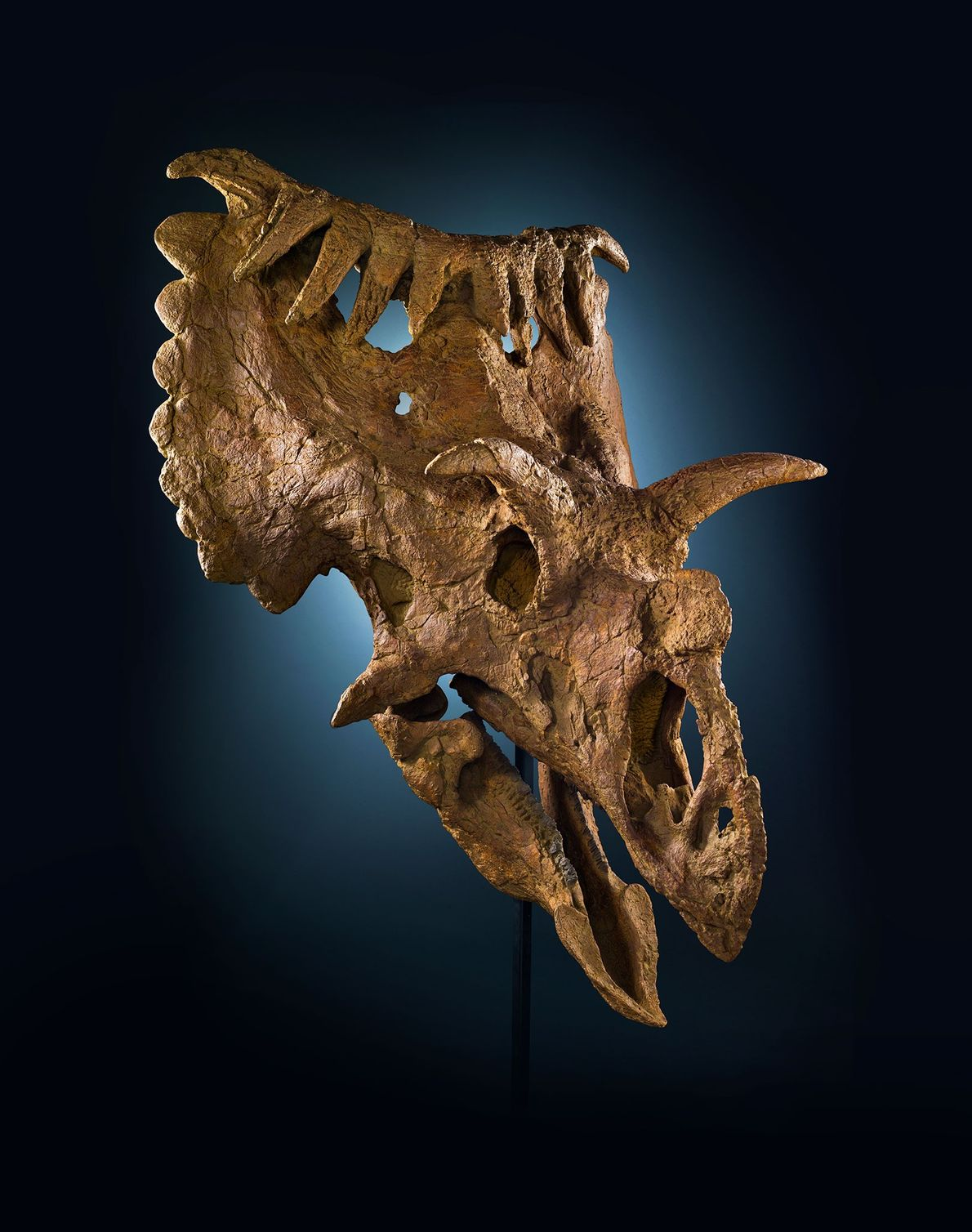 Crânio  pertence a um parente do Triceratops chamado Kosmoceratops richardsoni.