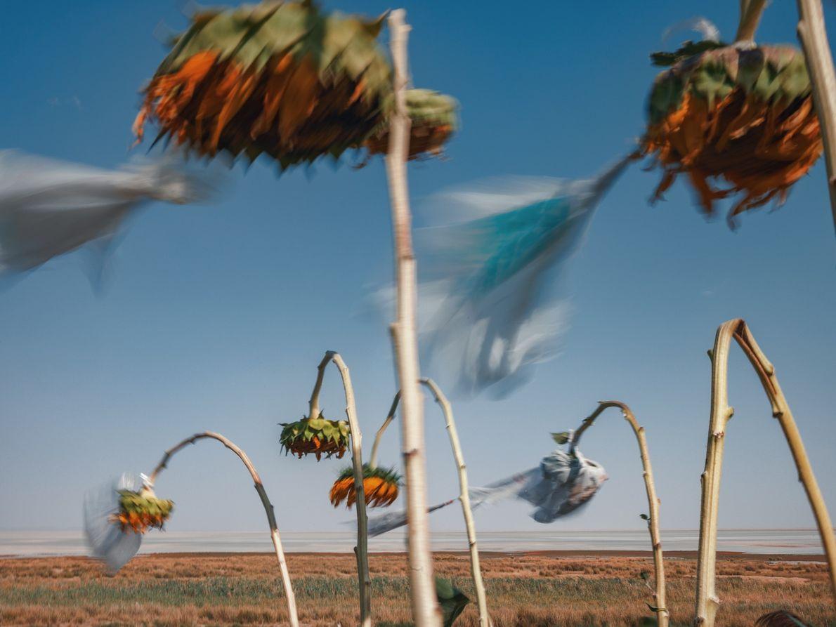 Um campo de girassóis. As plantas são protegidas com sacos de plástico para atenuar os impactos ...