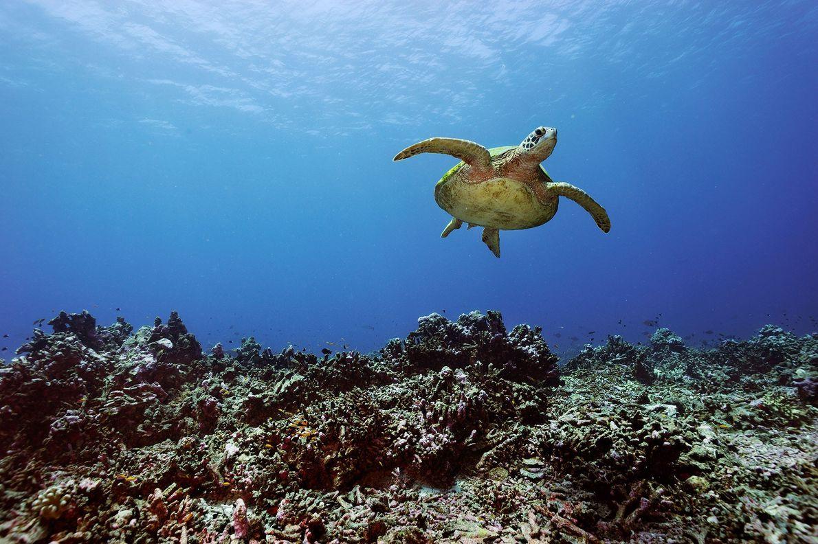 Uma tartaruga-verde.