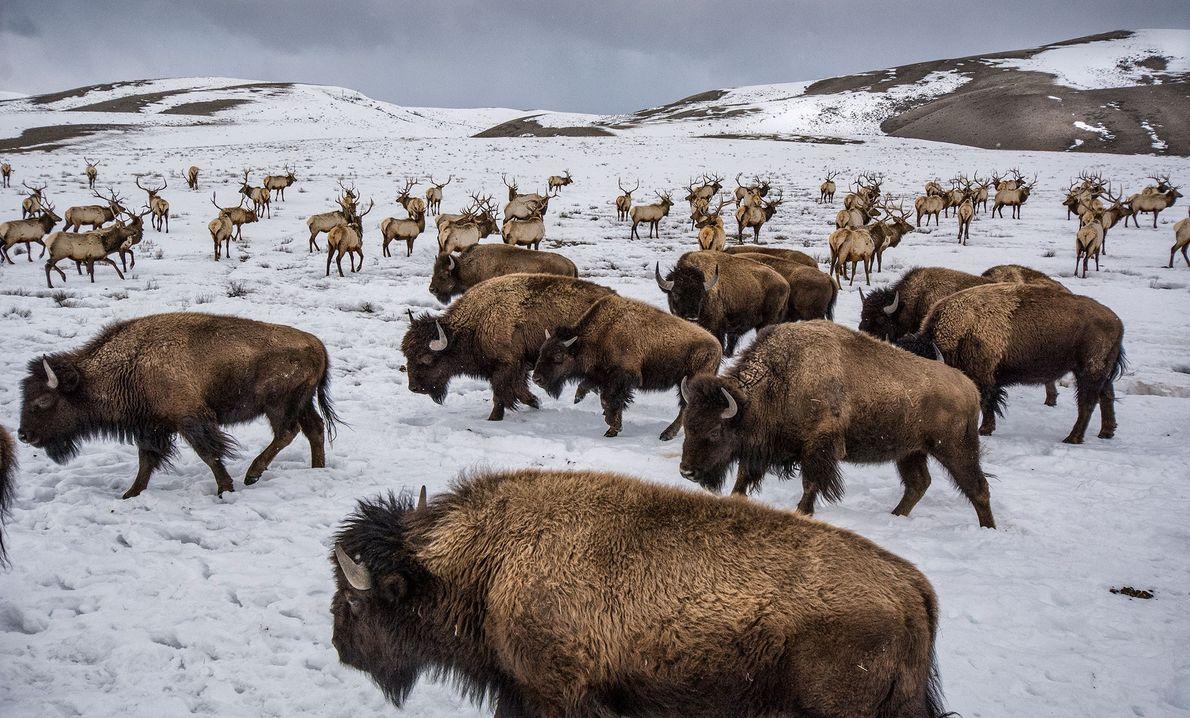 O National Elk Refuge é também o lar destes bisontes