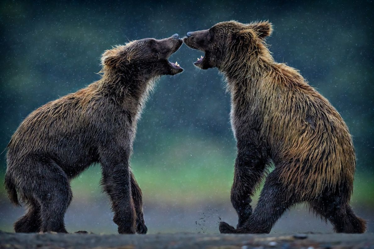 Dois ursos-pardos jovens brincam