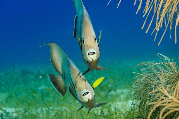 Peixes-anjo-cinzentos procuram alimento em Lighthouse Reef