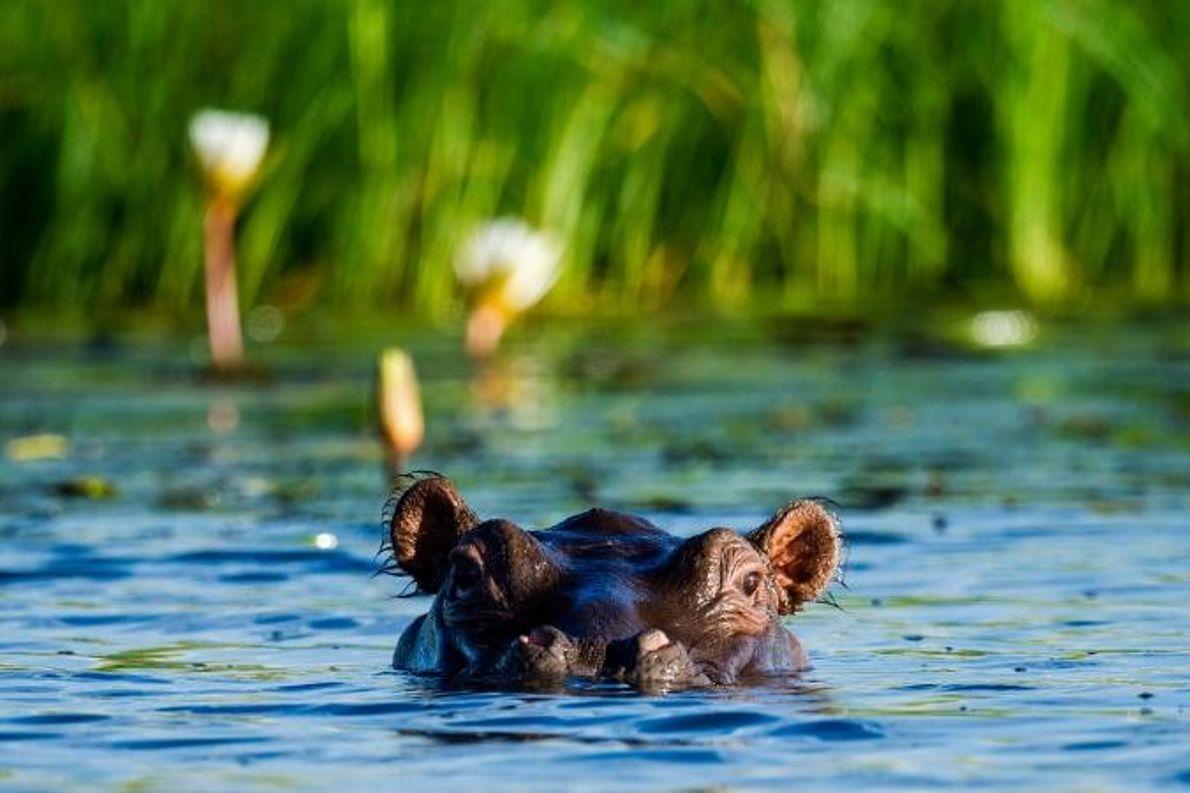 Um hipopótamo emerge à superfície na orla de um canavial.