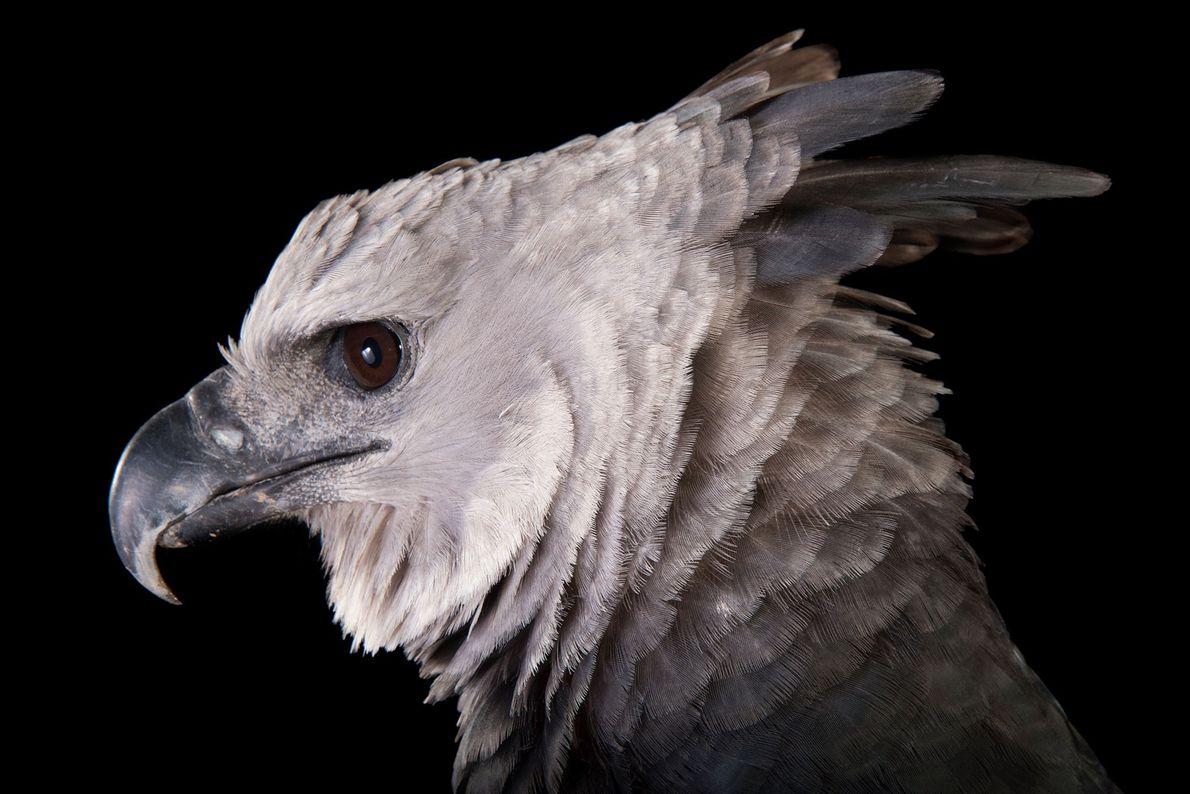 Espécies de águias - Uma harpia