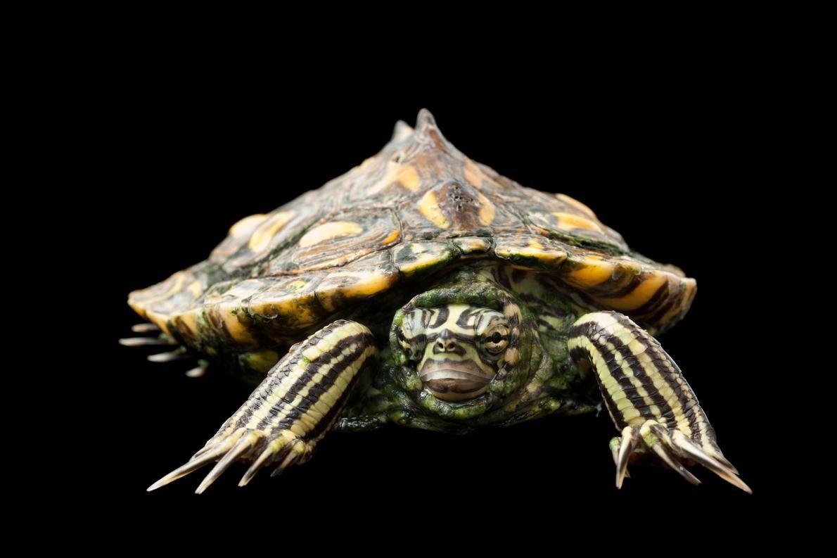 Uma tartaruga da espécie Graptemys flavimaculata. Esta espécie está identificada como vulnerável.