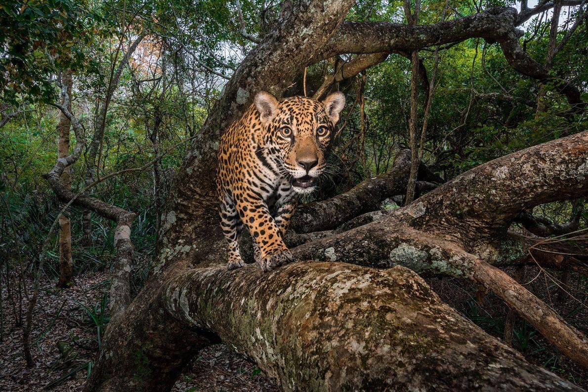 Uma câmara operada remotamente capta uma cria de jaguar, com 10 meses de idade, na região ...