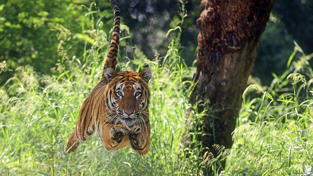 tigre de Bengala é fotografado a meio de um salto