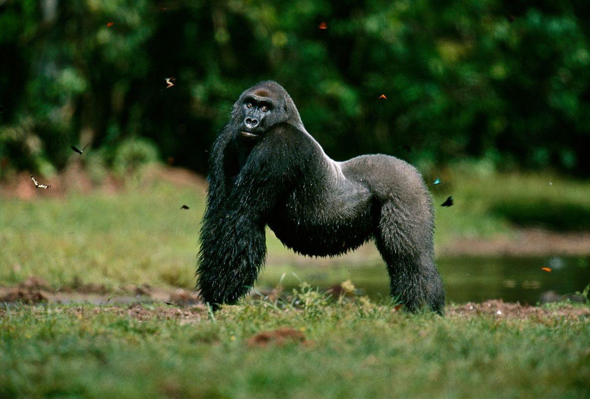 Um gorilla-ocidental-das-terras-baixas
