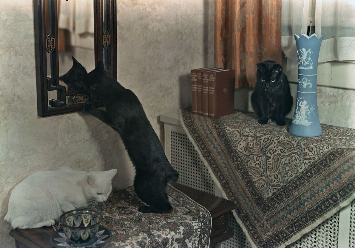 Três gatos sem cauda.
