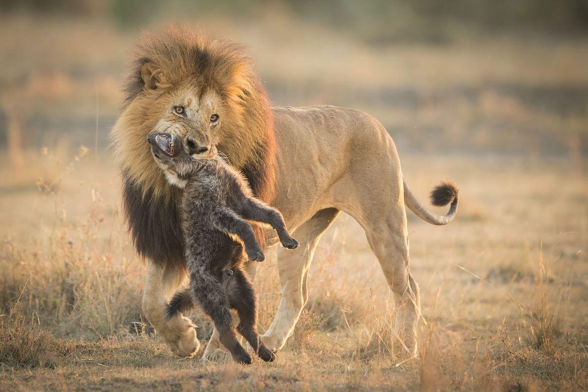 Leão e hiena. Masai Mara, Vale do Rift, Quénia