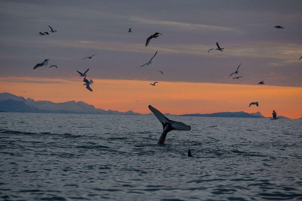 Uma orca mergulha para se alimentar de arenques, elevando a barbatana caudal.