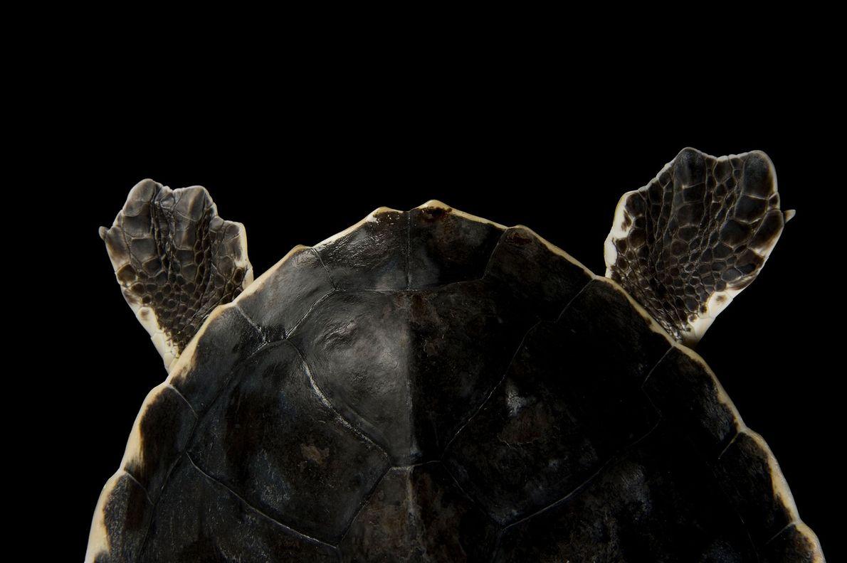 Tartaruga-de-kemp, espécie em perigo.