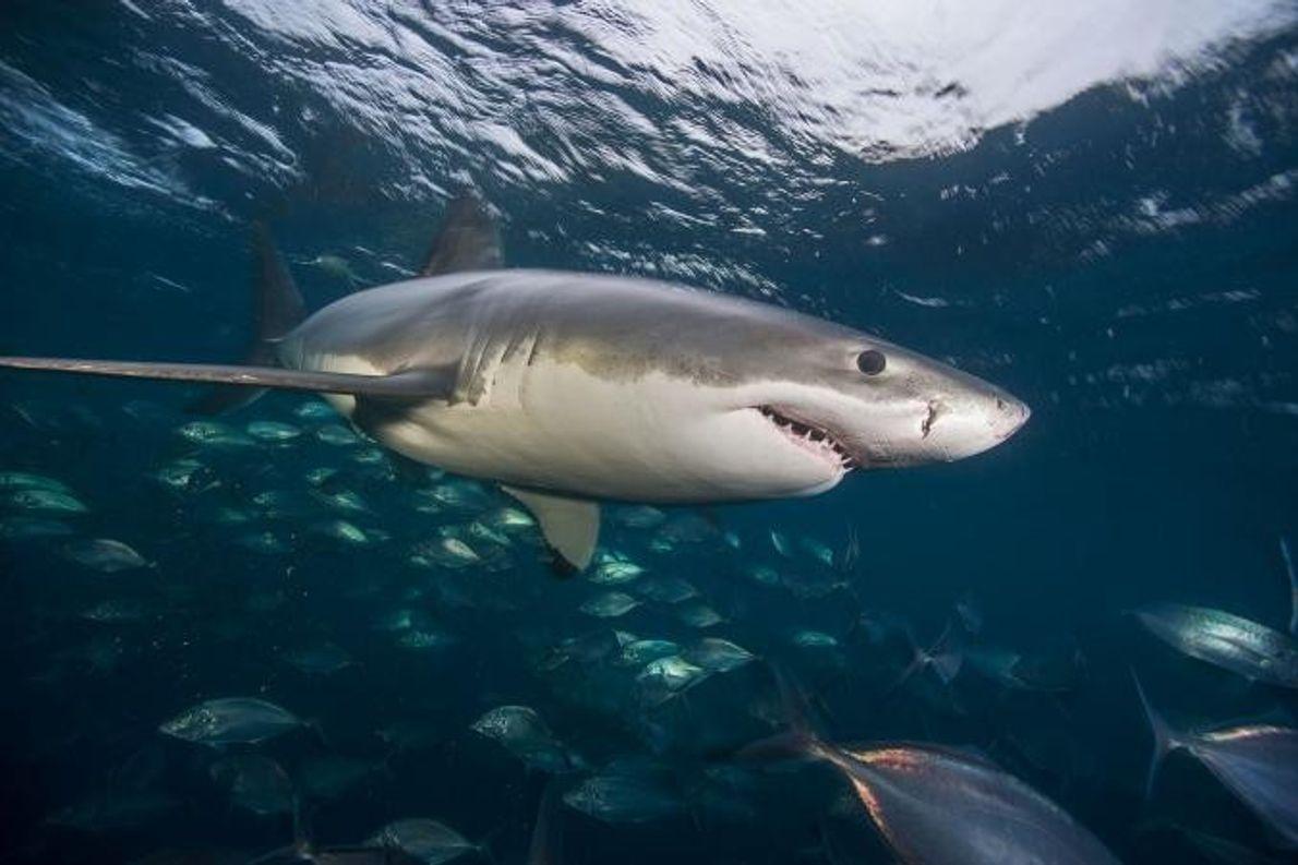 Um tubarão-branco.