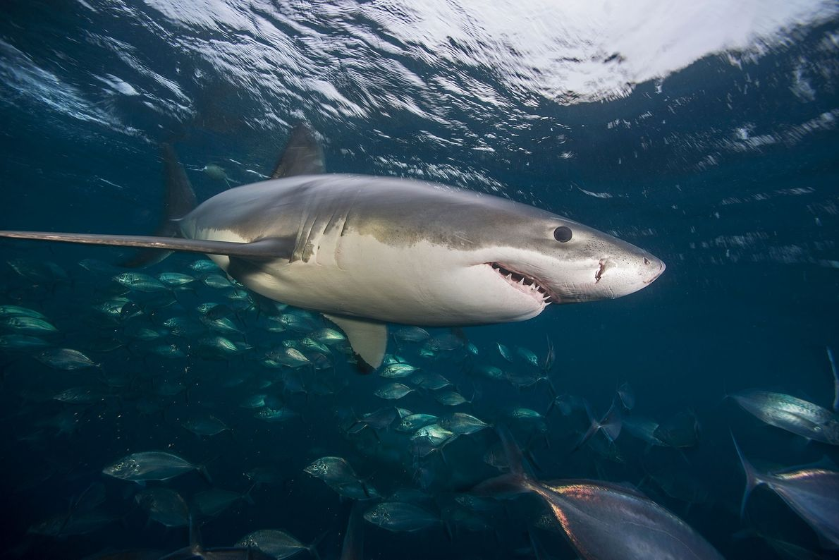 Tubarão-branco, Ilhas Neptuno.