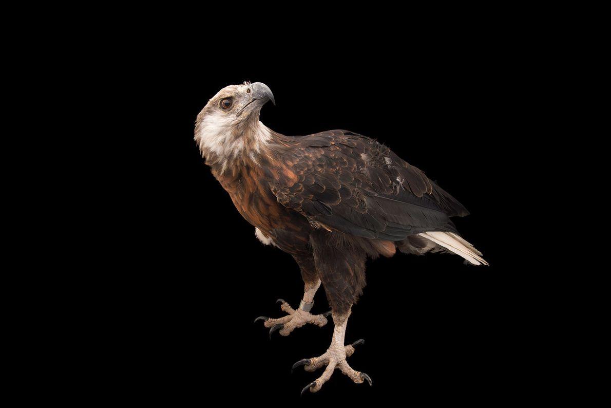 Espécies de águias - Uma águia-marinha-de-madagáscar
