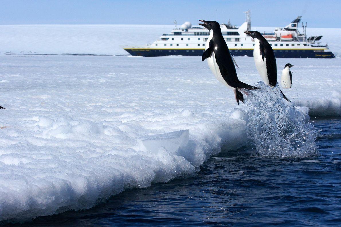 Pinguins-de-adélia saltam para o gelo em Active Sound, na Antártida