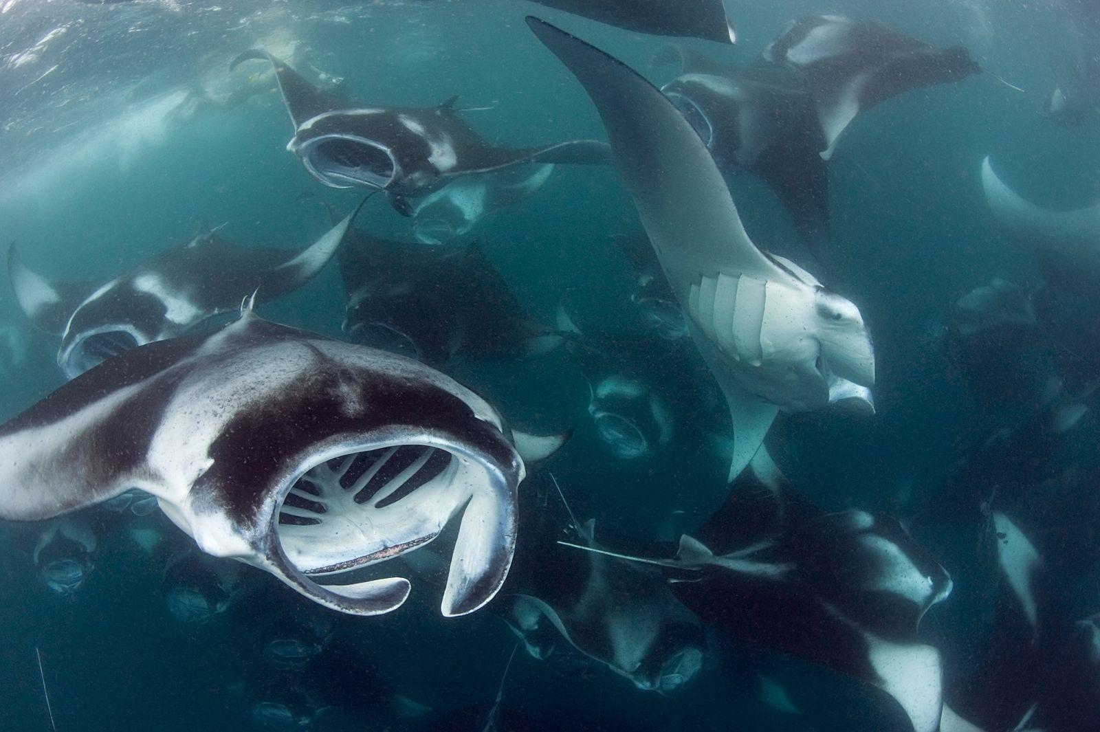 As Maldivas abrigam uma das maiores populações conhecidas de mantas dos recifes do mundo.