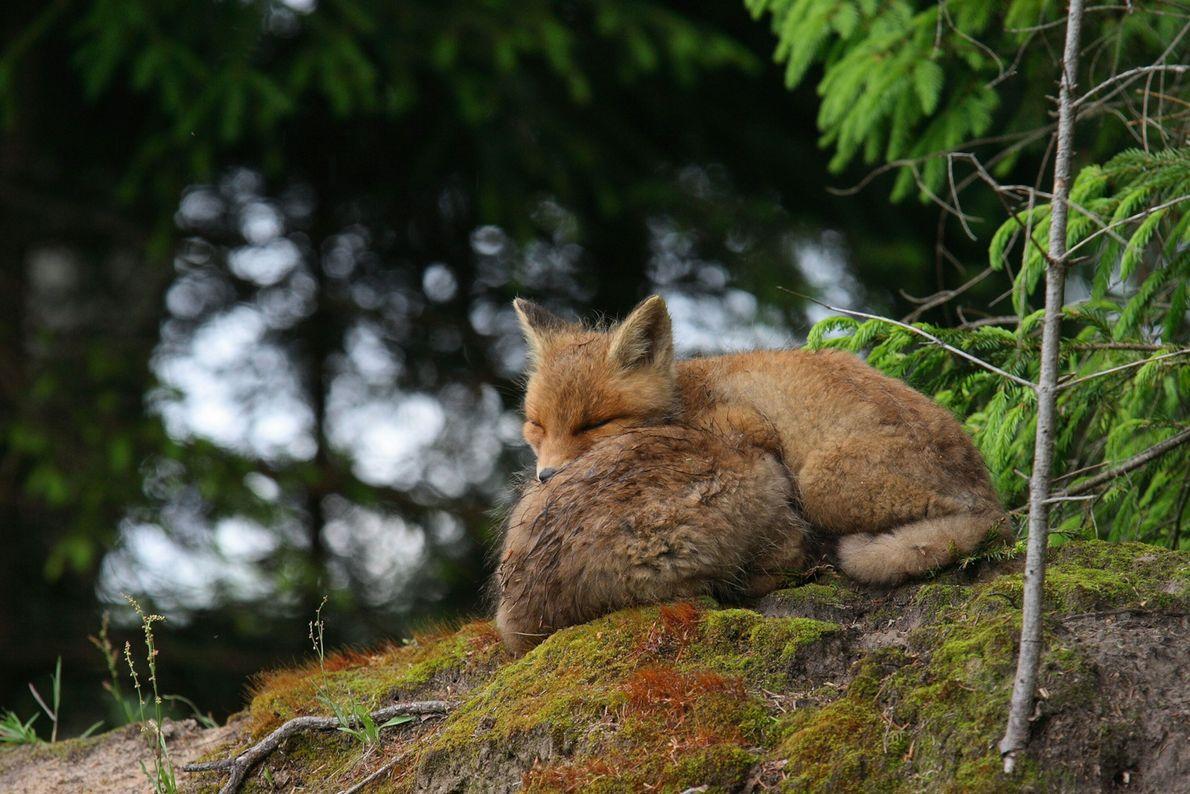 raposas-vermelhas