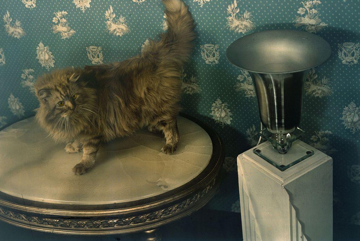 Um gato persa vermelho.