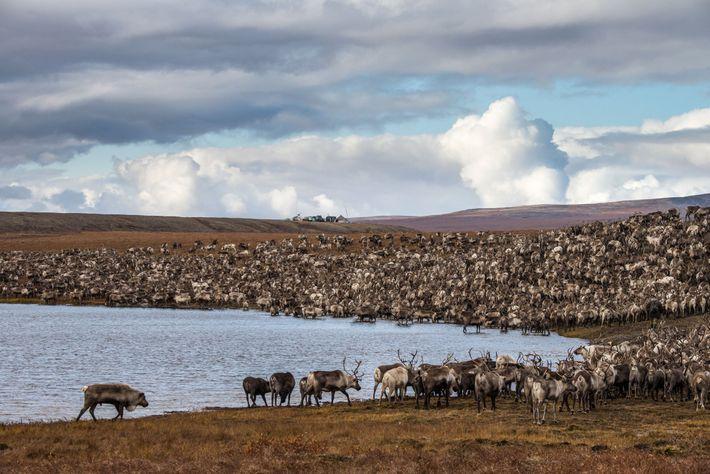 O rebanho da brigada de renas de Maya dirige-se para o acampamento.