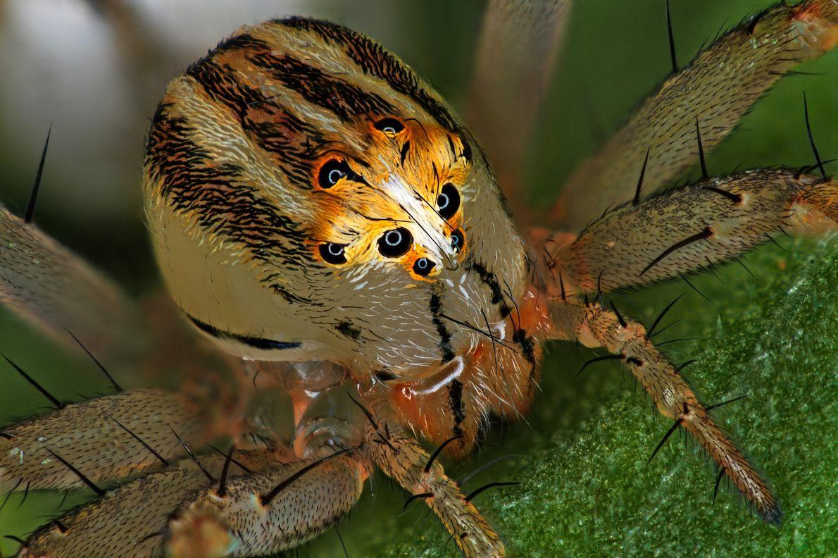Antoine Franck, entomologista francês, montou esta imagem de uma aranha (Oxyopes dumonti). As aranhas deste género ...