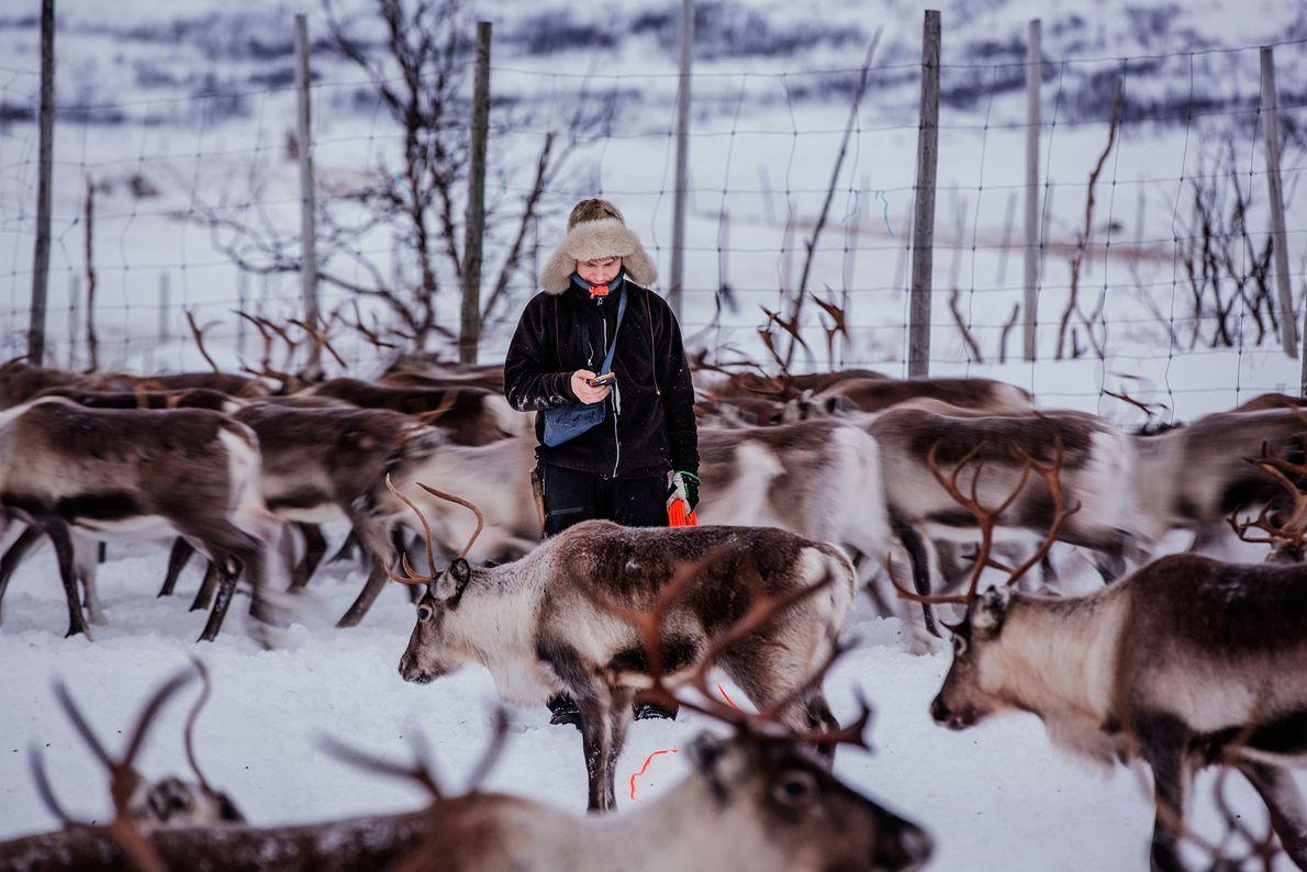 Fotografia do pastoreio de renas