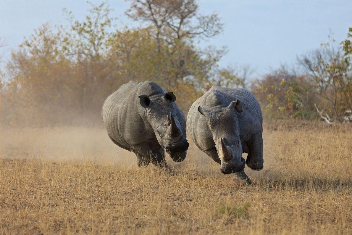 Rinocerontes-branco-macho rivais