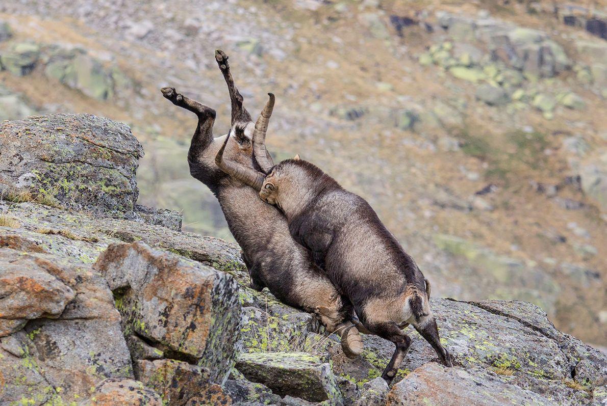 Dois íbexes-ibéricos confrontam-se na Serra de Gredos, em Espanha.