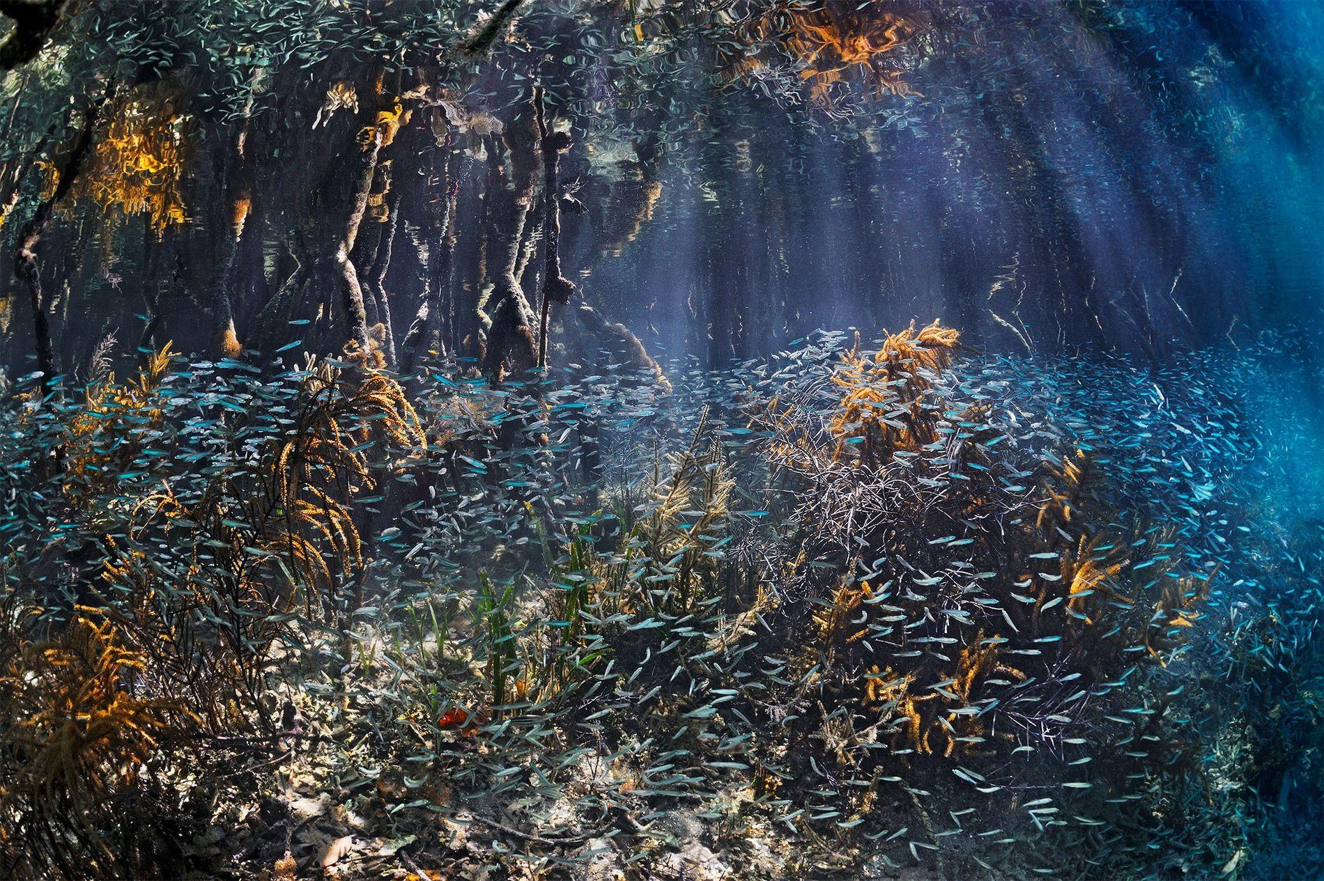 Cardumes de peixes juvenis invadem os mangais em Belize, onde encontram proteção durante a fase de ...