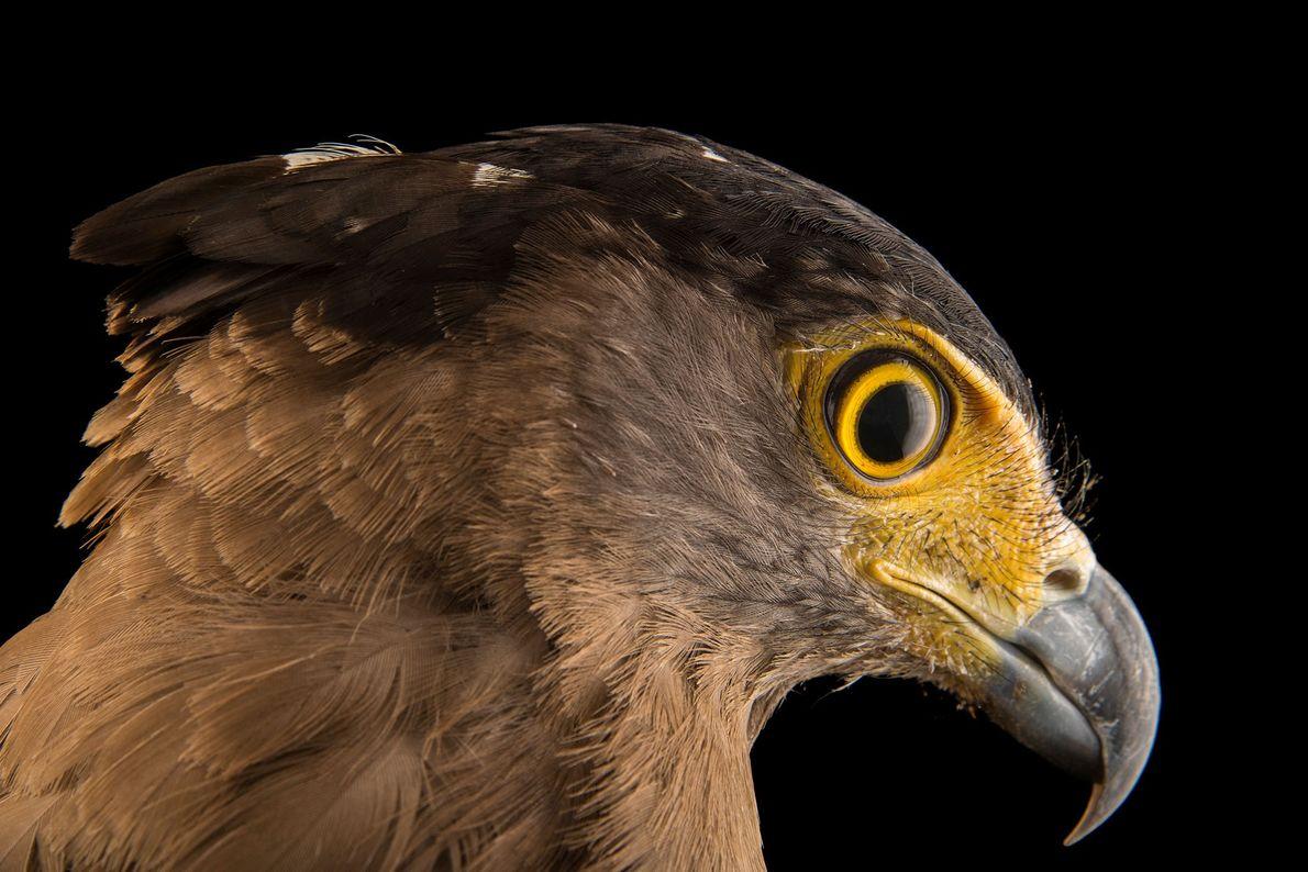 Espécies de águias - Uma águia-cobreira-de-crista da Malásia