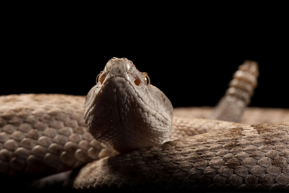Uma cascavel nariz-de-cume (Crotalus willardi obscurus), ameaçada a nível federal.