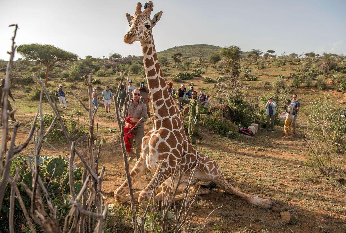 Uma girafa é libertada.