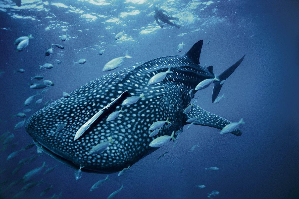 Um mergulhador observa um tubarão-baleia