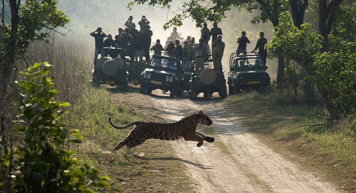 tigre atravessa dum salto uma estrada empoeirada