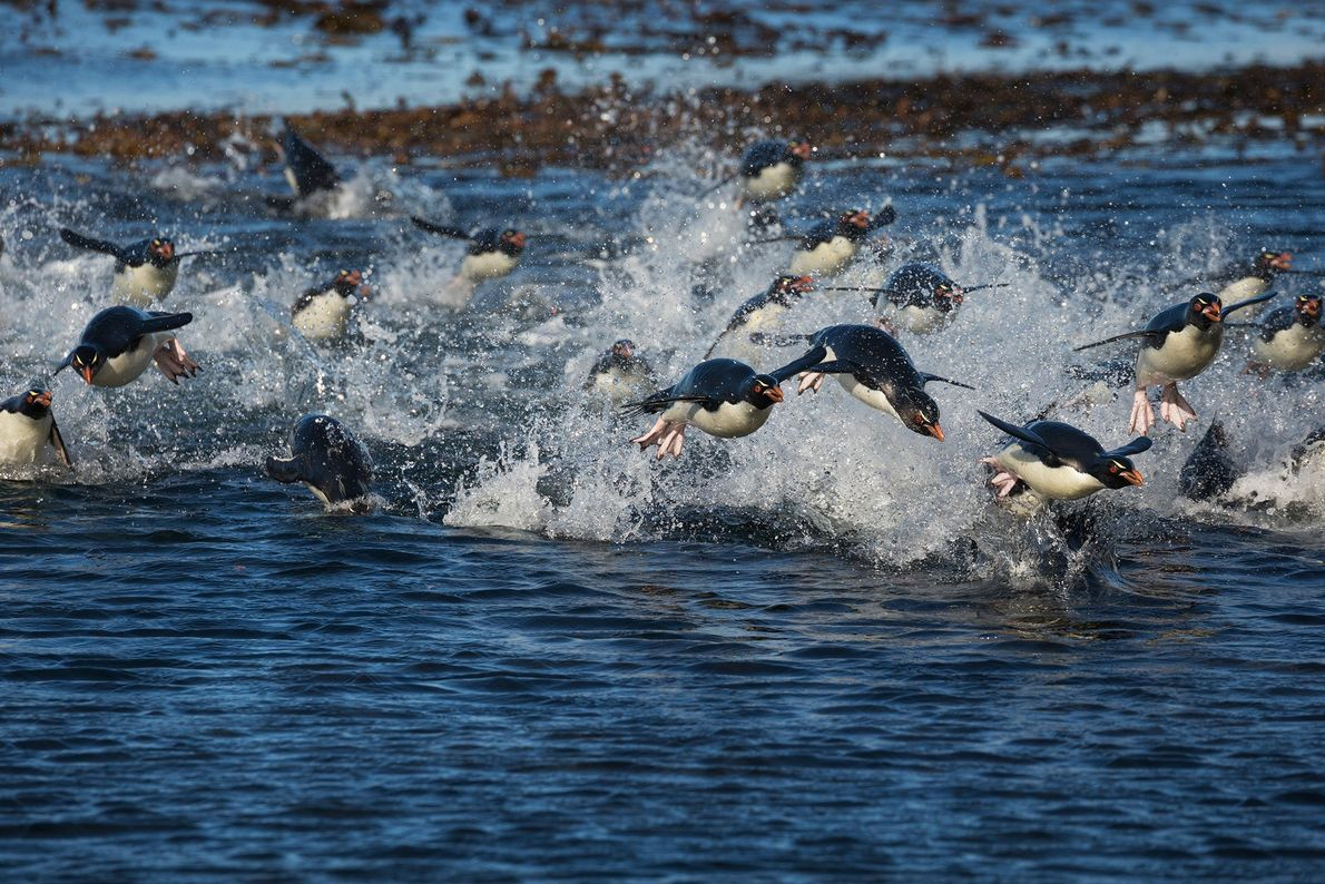 Pinguins-de-penacho-amarelo do sul nadam em direção à costa nas Ilhas Malvinas. Os pinguins usam as barbatanas ...
